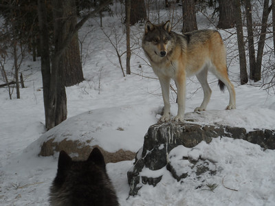 Wolves in Minnesota - Project Week 2014